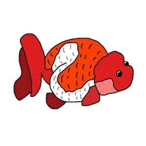 Types of goldfish: Ranchu goldfish