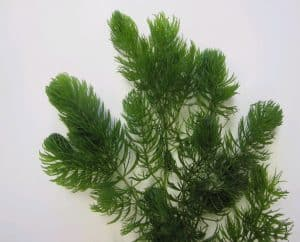 Bushy hornwort