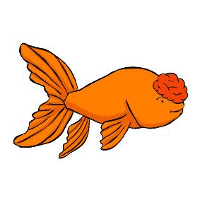 Pompom Goldfish: All about the pompom goldfish