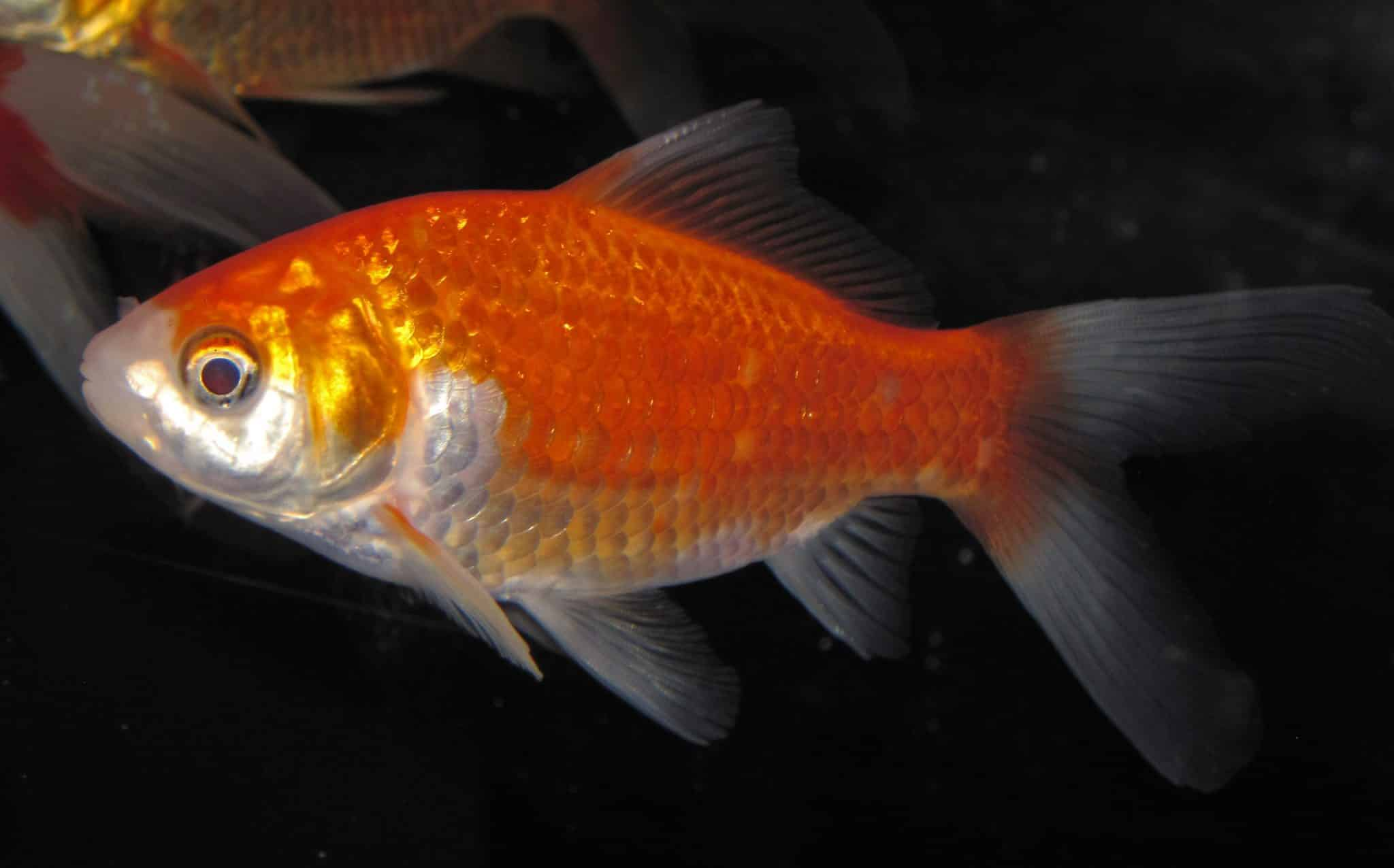 GUEST POSTS – The Goldfish Tank