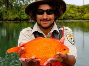 14 inch long wild goldfish