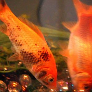 Ammonia poisoning in goldfish