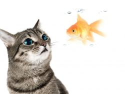 Can you eat goldfish?