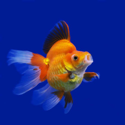 How often to feed goldfish is an important decision to make