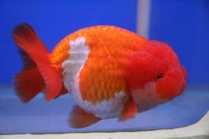 Lionchu (or Lionhead Ranchu) goldfish