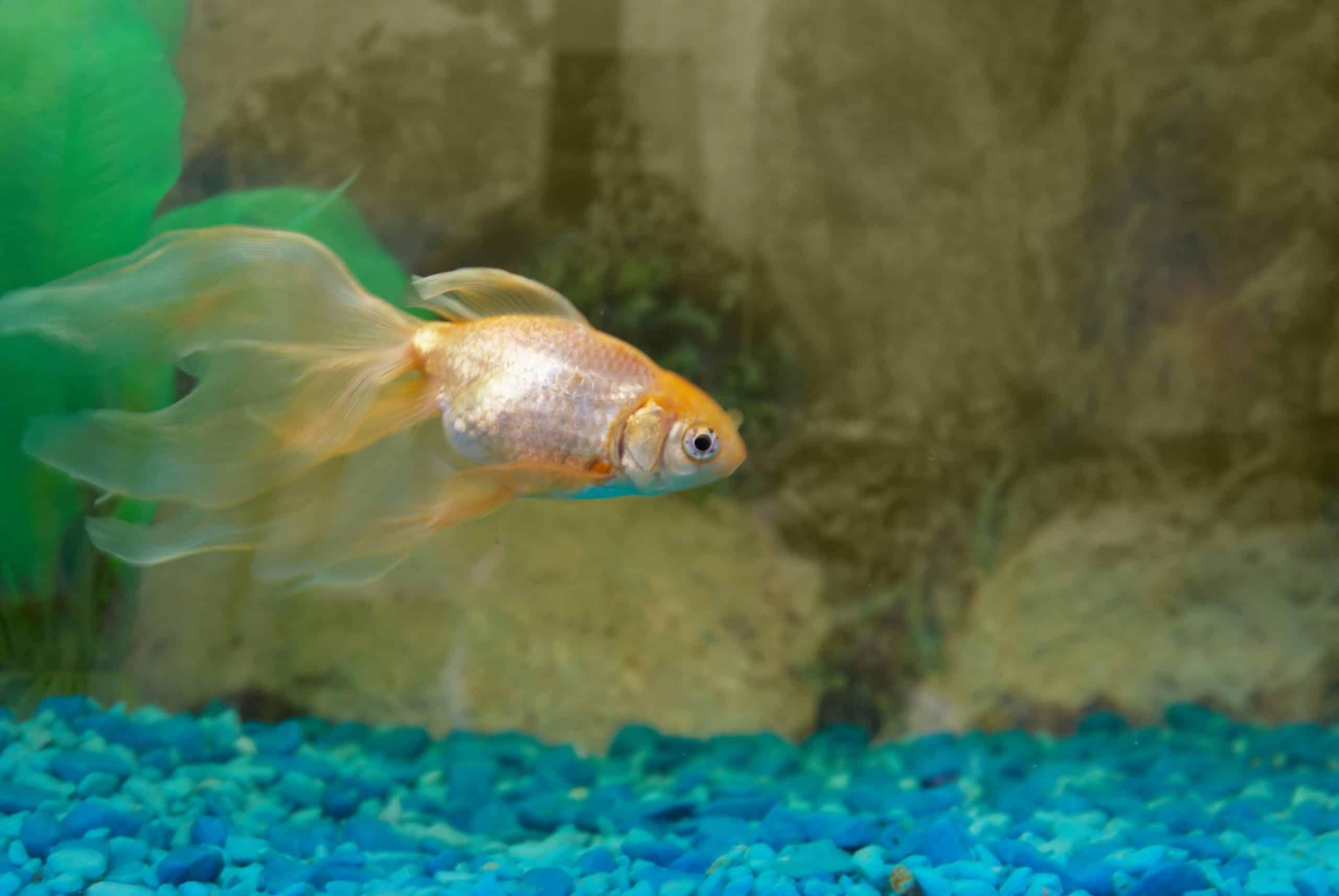 Goldfish in quarantine