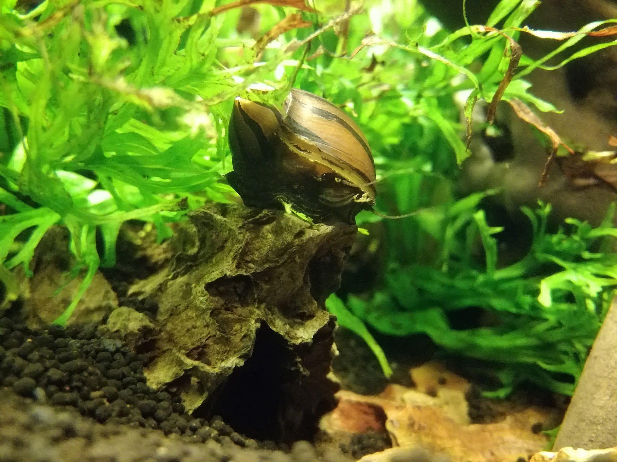 Do goldfish eat snails? Netrile Snail in an aquarium.