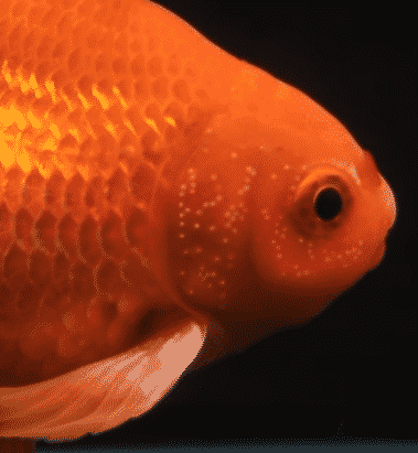 Is this goldfish male or female? It's male. You can tell by the spots on the gills.
