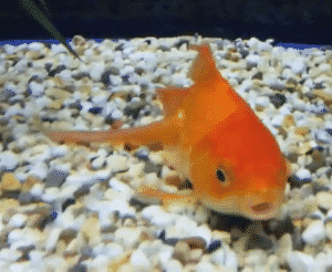 A goldfish sitting at the bottom of a tank