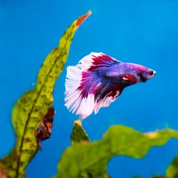 Goldfish and betta fish are not good tank mates